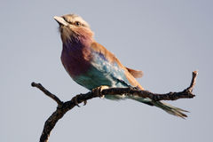 Purple Breasted Roller Stock Image