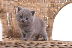 Purple British kitten sitting on a white background in a wicker chair stock images