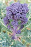 Purple broccoli Stock Image
