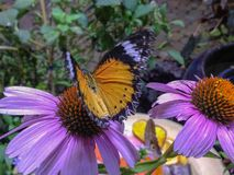 Purple and brown butterfly stock images