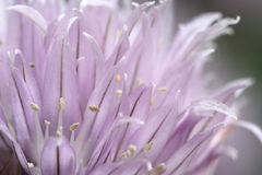 Purple bud blooming young onion Stock Images