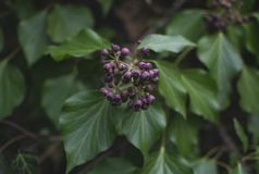 Purple bud flowers on plant with green leafs.  stock photo