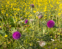 Purple budding and blooming thistles Royalty Free Stock Photo