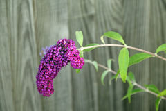 Purple Buddleia Blossom Stock Photo