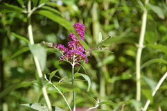 Purple Buddleja, or Buddleia also known as Buddlea Royalty Free Stock Images