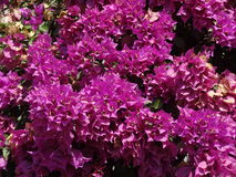 Purple Bugambilia Royalty Free Stock Images