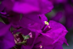 Purple bugambilia. The purple bugambilia is a very beautiful plant that is given in Puebla royalty free stock images