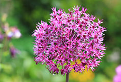 Purple bulbous allium flower head Stock Image