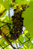 A purple bunch of grapes Royalty Free Stock Image