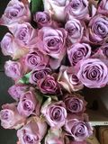Purple bunches of roses. Purple roses creating a romantic background royalty free stock photos