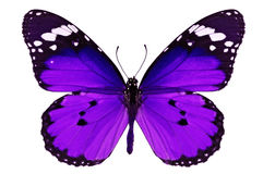 Purple butterfly. Beautiful purple butterfly isolated on white background royalty free stock photos