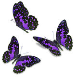 Purple butterfly Royalty Free Stock Photos