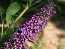 Purple Butterfly Bush Stock Photography