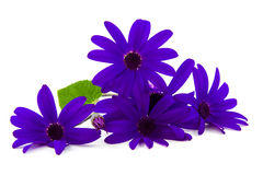 Purple butterfly flower Stock Photography