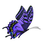 Purple butterfly flying. Beautiful purple butterfly flying isolated on white background stock image
