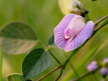 Purple butterfly pea Stock Images
