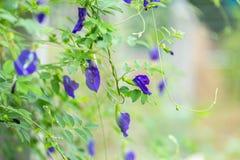 Purple Butterfly pea flower growing on metal wire fence