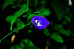Purple butterfly pea with green leaves background stock photography