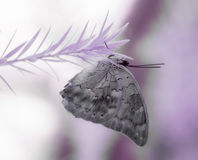 Purple butterfly on a purple twig in infrared Stock Images