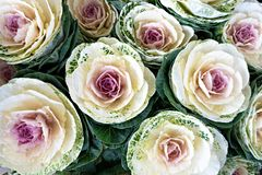 Ornamental white and purple cabbage. Natural background. Purple cabbage or brassica oleracea. Natural ornamental vegetable. Vegetal background stock images