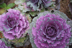 Purple cabbage. Crops at field Stock Image
