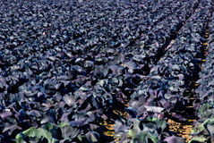 Purple cabbage in a field Stock Image