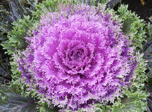 Purple cabbage flower Royalty Free Stock Photo