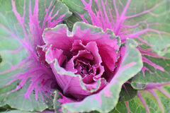 Purple cabbage in Mae Hong Son province. In the beautiful late winter months, add a cold atmosphere. Feel the best Royalty Free Stock Photography