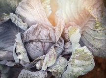 Purple Cabbage ornamental. Purple Cabbage brassica oleracea Planted for Ornamental. Cabbage leaves are beautiful Royalty Free Stock Photo