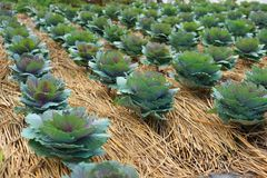 Purple cabbage on vegetable plot Stock Photos