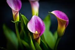 Purple calla lilies. Four purple calla lilies , bouquet Royalty Free Stock Photo