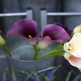 Purple Calla lilies Royalty Free Stock Photo