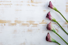 Purple calla lilies on white wooden background Royalty Free Stock Images