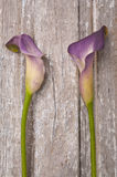 Purple Calla Lily. On a Rustic Old Piece of Wood Royalty Free Stock Photos