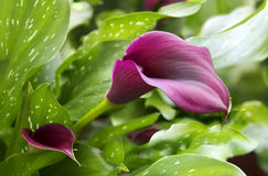 Purple calla lily with many leaves. As floral background Stock Photo