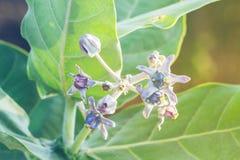 Purple Calotropis Gigantea flower Stock Photo
