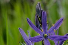 Purple Camas Stock Photography