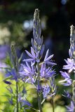 Purple Camassia flowers, wild hyacinth, quamash stock photography