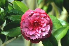 Purple camellia Royalty Free Stock Photos