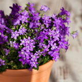 Purple campanula Stock Photo