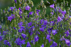 Purple campanula Stock Images