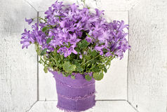 Purple campanula  blue bell flowers on white  wooden background Royalty Free Stock Photography