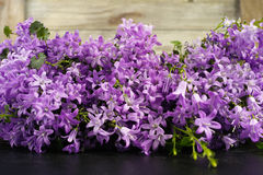 Purple campanula  blue bell flowers on wooden background Stock Photography