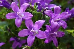 Purple campanula Royalty Free Stock Image