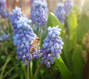 Purple campanula flower and bee Stock Photo