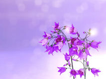 Purple campanula flowers. Royalty Free Stock Images