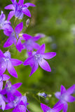 Purple campanula flowers Royalty Free Stock Photography