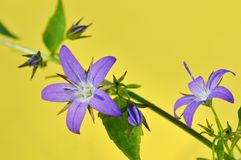 Purple campanula poscharskyana flowers Royalty Free Stock Photography