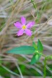 Purple campanula poscharskyana flowers Stock Images