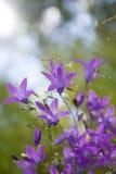 Purple campanula and sunlight Stock Photo
